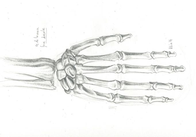 Les os de la mains - face dorsale